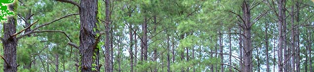 Pine Tree Logging in Kingwood Texas